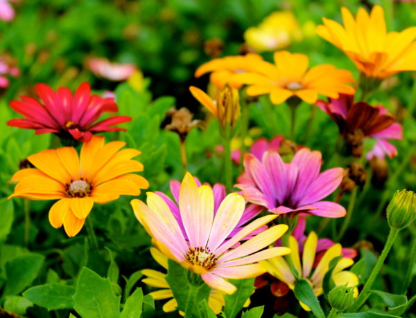 Multicolored Spring Daisies