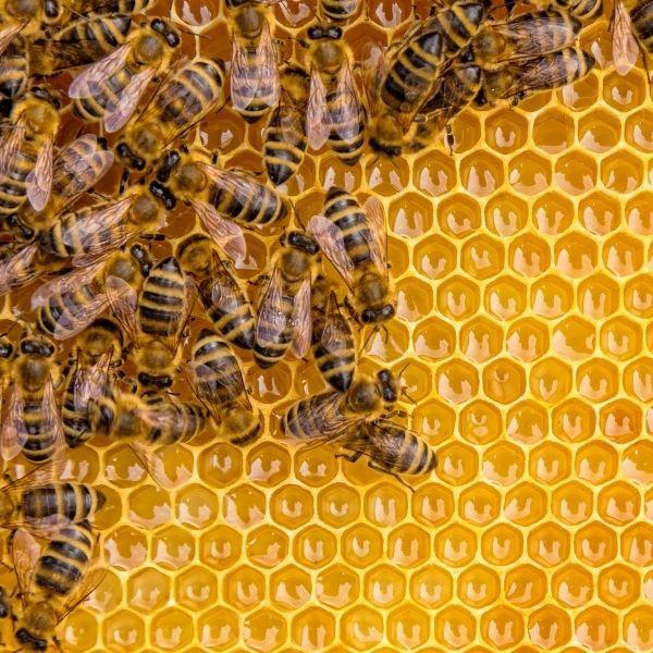 Understanding How Bees Make Honey